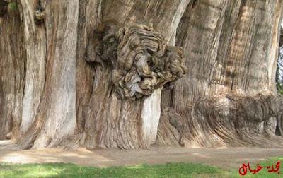 مجموعة من أغرب الاشجار حول العالم tree_8.jpg