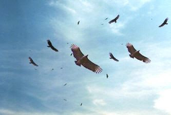 Vultures image