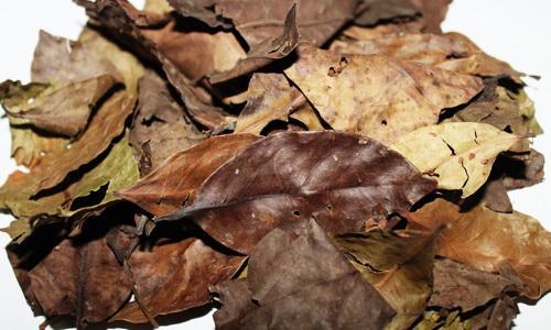 manfaat daun salam kering untuk kesehatan