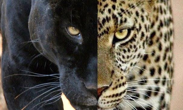 La Pantera Negra: FELINOMANIA Y FELINOLOGIA: GRANDES FELINOS: LA PANTERA NEGRA