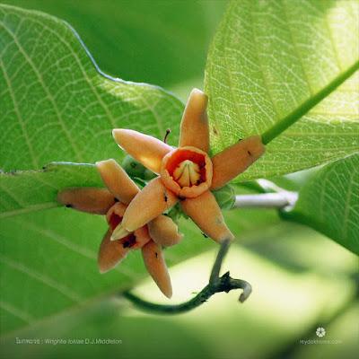 ดอกโมกพะวอ ( Wrightia tokiae ) ดอกโมกถิ่นเดียวของไทย