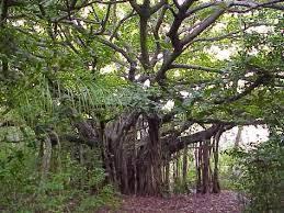Ciri-Ciri Pohon Beringin Serta Morfologinya