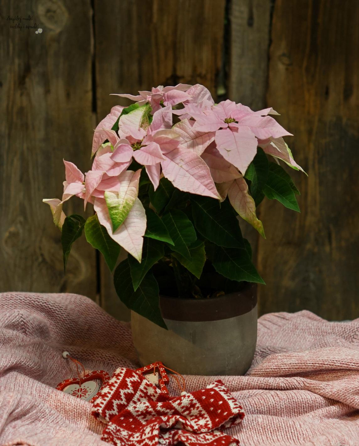 Gwiazda betlejemska, wilczomlecz nadobny, poinsencja, czyli roślina na Boże Narodzenie