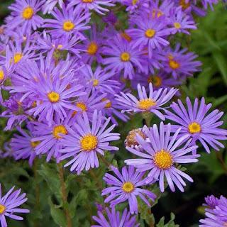 Gambar Bunga Aster yang Cantik 16