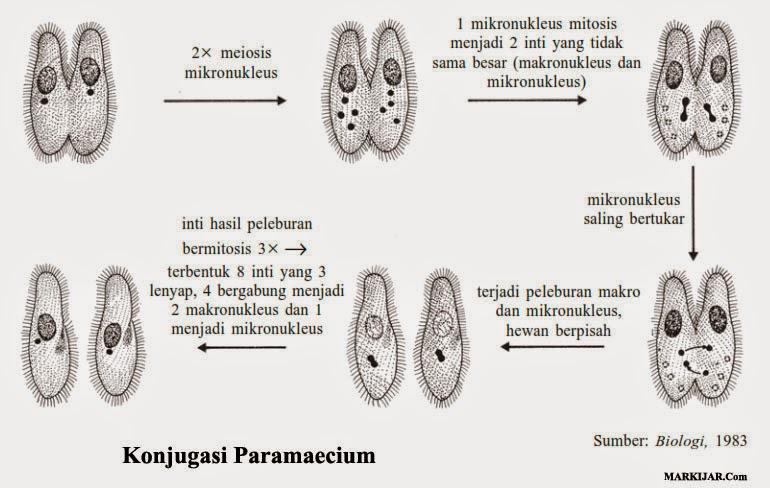 Konjugasi Paramaecium, bakteri protista, ciri protista, contoh protista, protista jamur