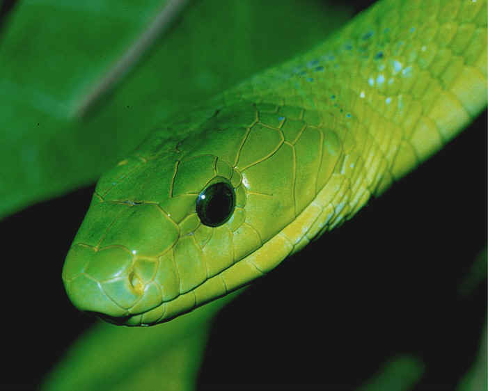 Wallpapers Hd Tattoo Snakes Green Mamba