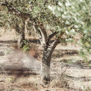 Μεταπτυχιακό για την ελιά και το ελαιόλαδο στο ΤΕΙ