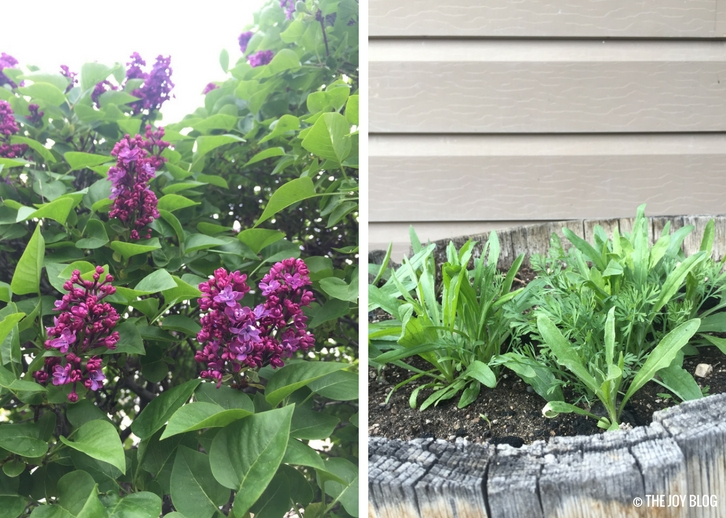 Lilacs & Wildflowers // Garden Updates: Mid-Spring 2018 // www.thejoyblog.net