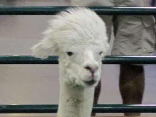 Alpaca Hairstyle.