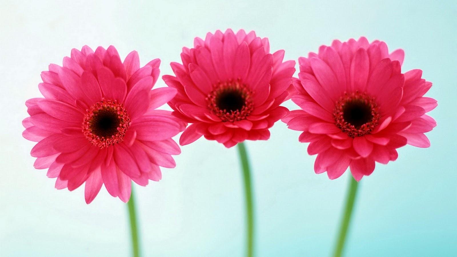 Pink Flower Wallpapers Background Hd Desktop Wallpapers Free Download