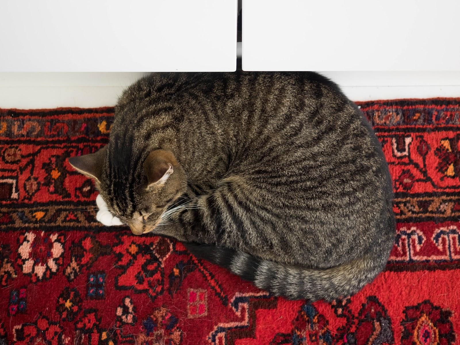 kissa nukkuu, itämainen matto