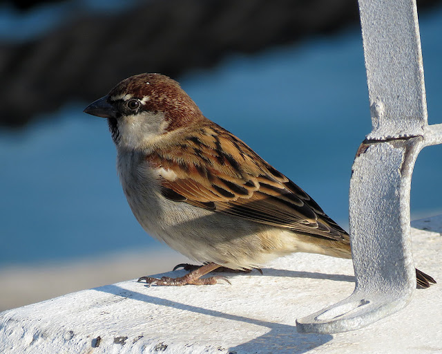Sparrow, Elba pier, Port of Livorno