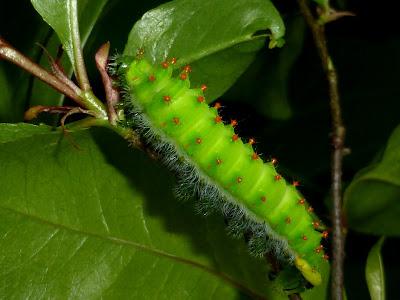 Rothschildia roxana caterpillar