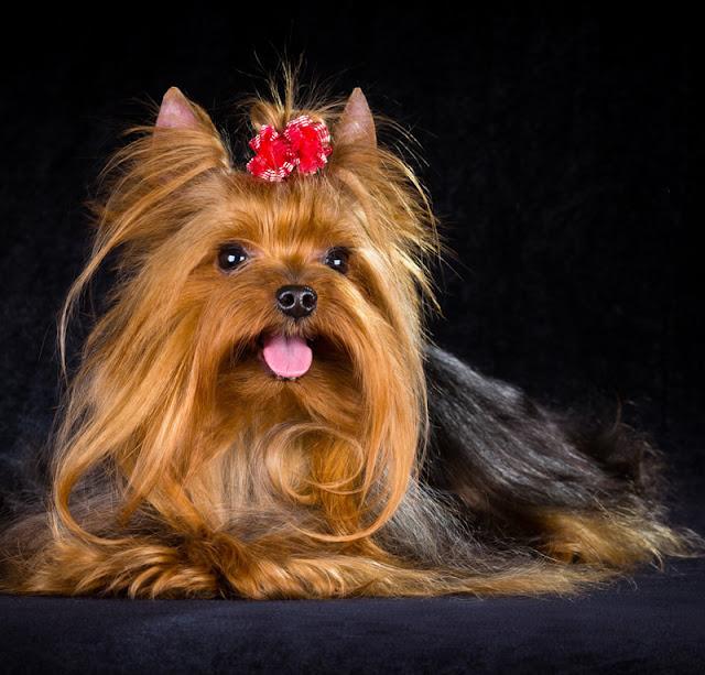 Dog Website Design for Dog Breeders