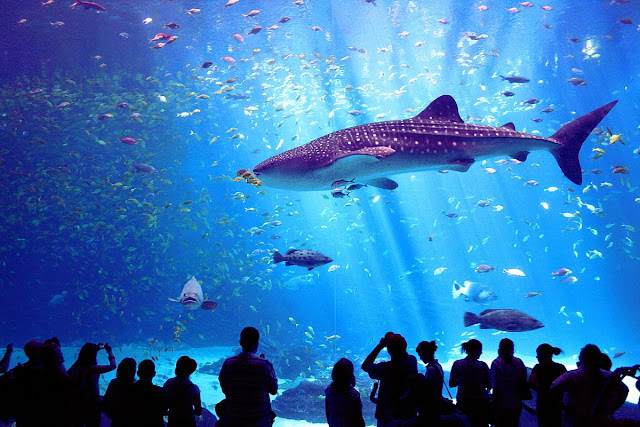 Menjelajahi Churaumi Aquarium, Menemukan Misteri Bawah Laut Okinawa