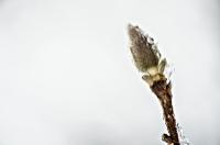 Gemma di arbusto utilizzata nei macerati glicerinati