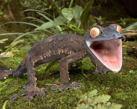 a304_Giant_leaf_tailed_Gecko.jpg