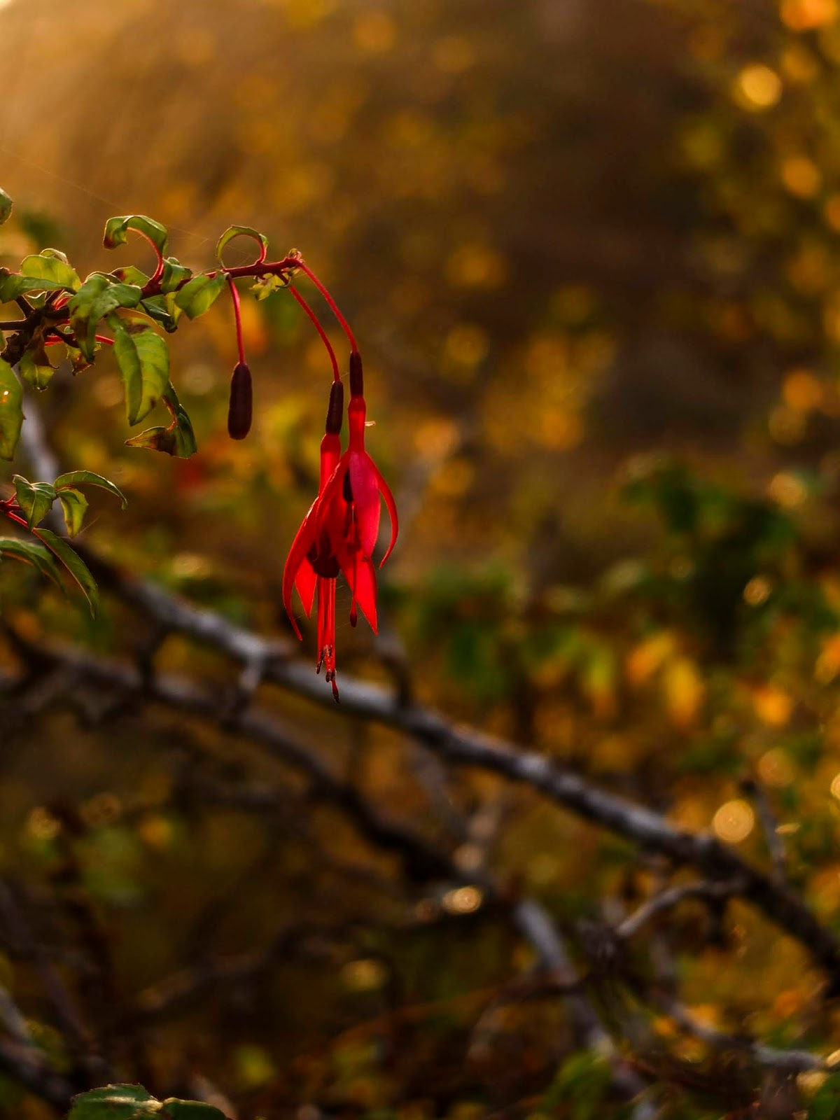 Two Fuchsia flowers hanging off a branch at golden hour sunset.