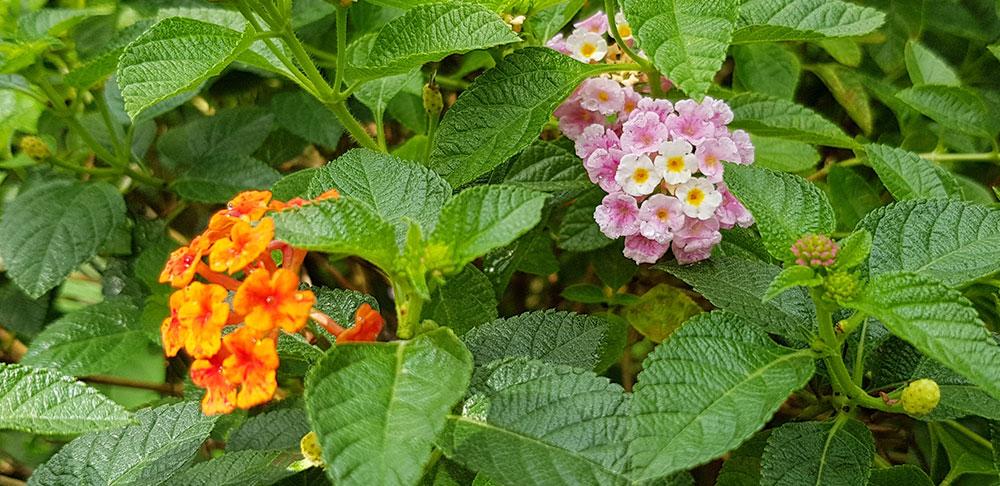 ดอกของต้นผกากอง