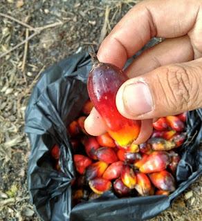 pengalaman membantu bekerja di perkebunan kelapa sawit 8