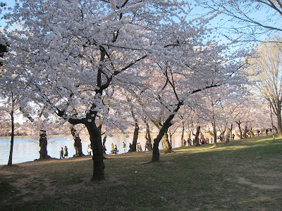 cherry blossom trees on the tidal basin
