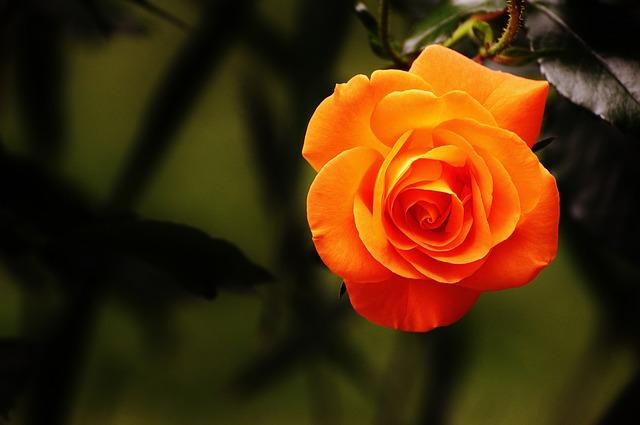 y nghia hoa hong cam
