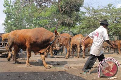 Kondisi Peternakan Sapi di Indonesia sangat Memprihatinkan