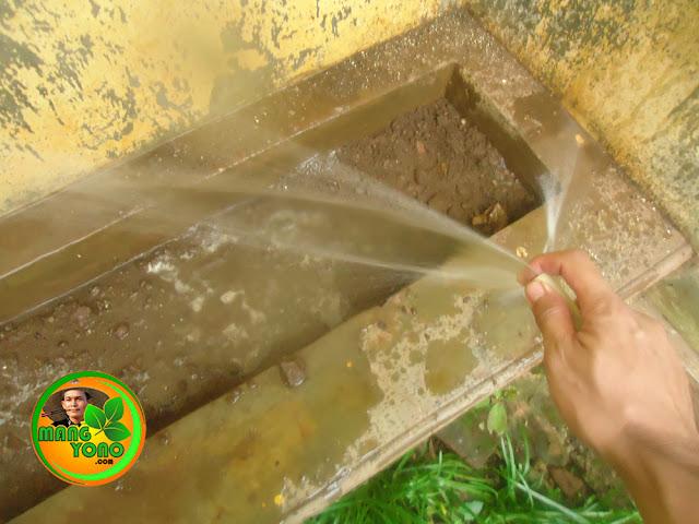 Penyiraman pada biji tanaman kangkung darat.