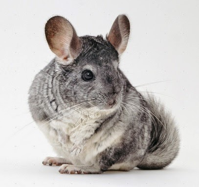 care of chinchillas