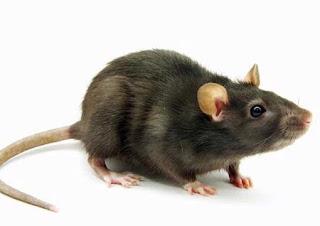 Tips Mengusir & Membunuh Tikus Di Rumah