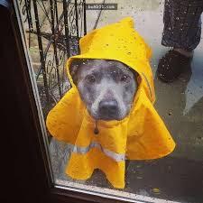 Lưu ý khi dắt chó đi dạo dưới mưa