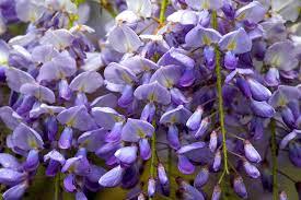 artikel bunga wisteria