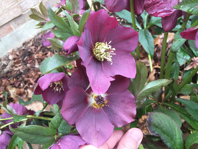 purple lenten rose blooming