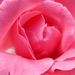 Mawar pink tua berarti ungkapan terima kasih yang mendalam