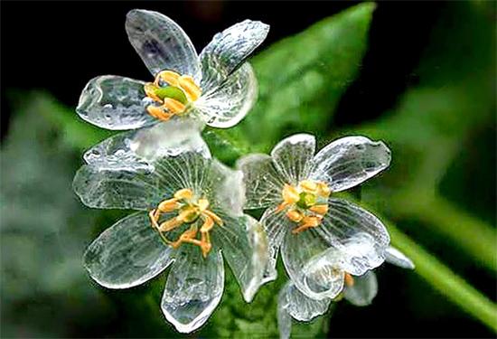 Flor esqueleto - flor de pétalas de vidro - Diphylleia grayi - 1