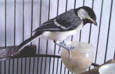 Makanan burung gelatik