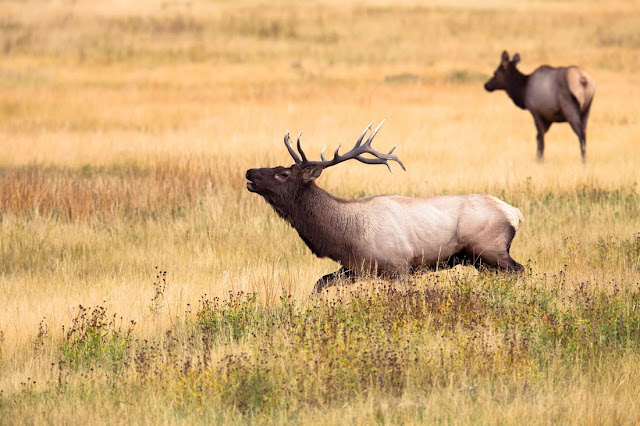 yellowstone-elk