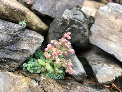 [Crassulaceae] Sedum dasyphyllum – Thick Leaved Stonecrop (Borracina cenerina)