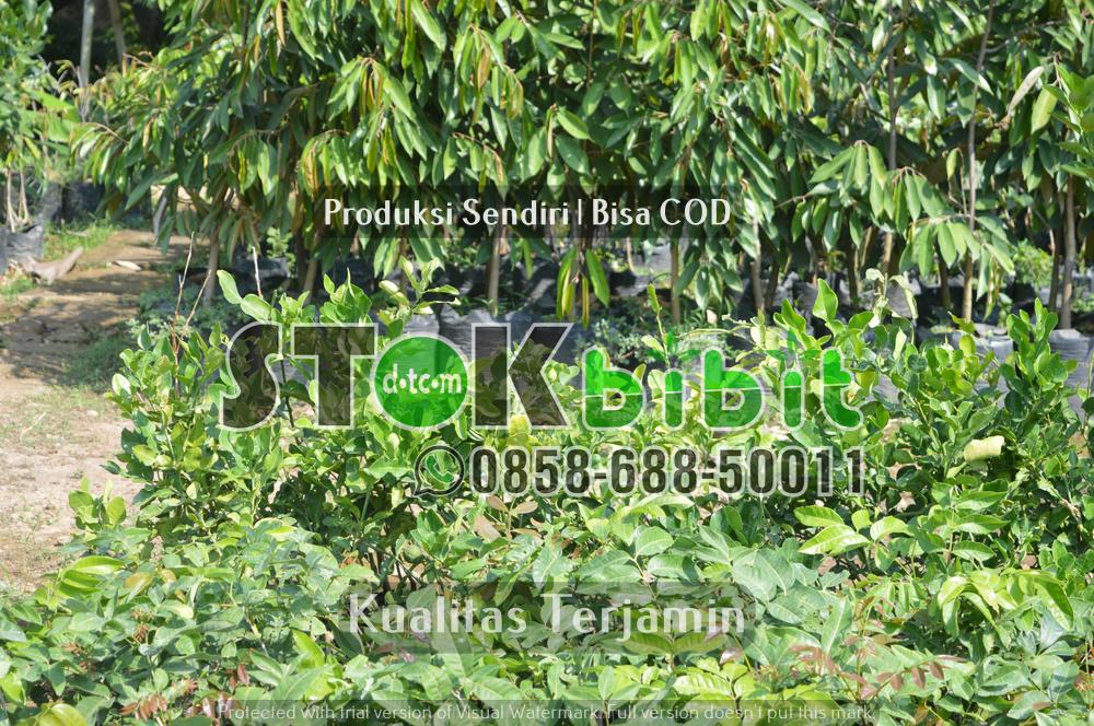 Legume Cover Crop | Tanaman Penutup Tanah    berkualitas       Lengkap