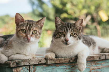 two tabby and white cats sitting outside