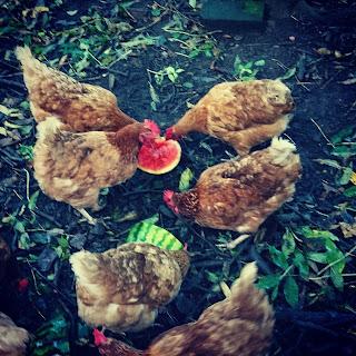 Hens, watermelon
