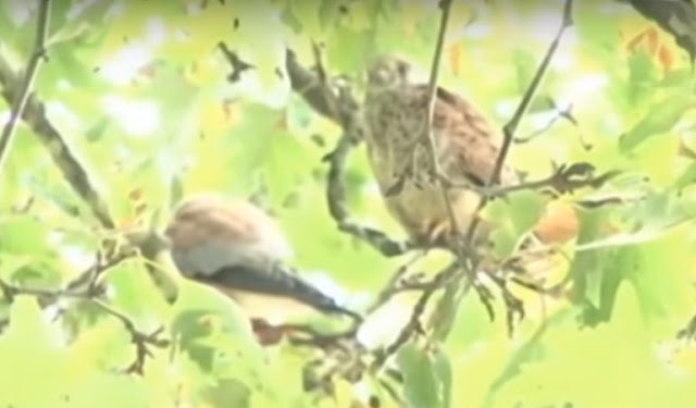 Peregrine Falcon in GJirokastra