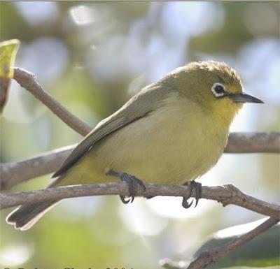 Jenis jenis+Burung+Pleci+Kacamata+Papua,+Zosterops+novaeguineae