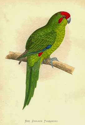 Red fronted parakeet