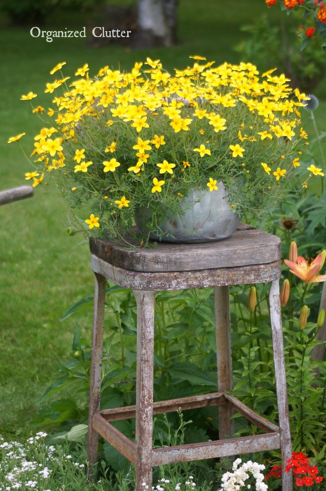 Bidens on a Rustic Stool www.organizedclutterqueen.blogspot.com