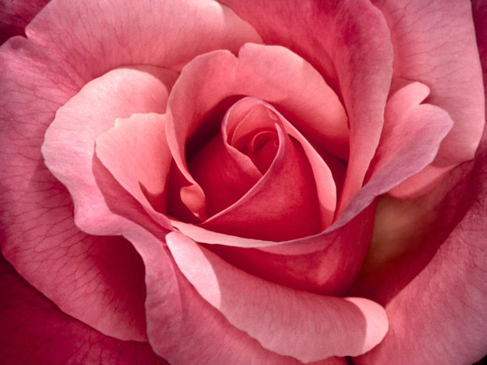Pink Rose Drawing Draw a contour line around the