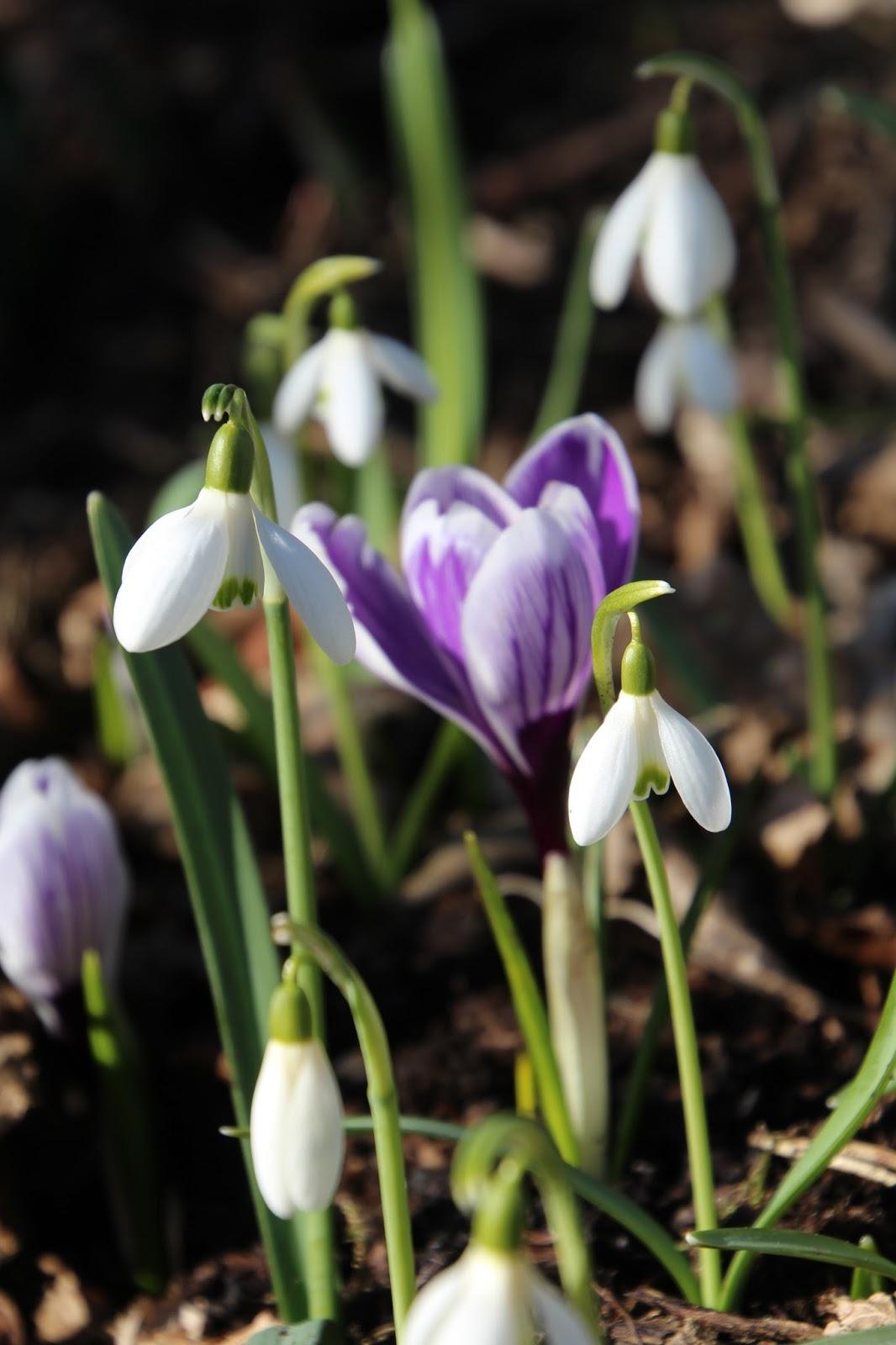 Snödroppe Galanthus nivalis