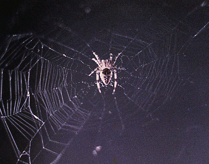 Arabella, a common cross spider, spins web aboard the second Skylab mission in 1973.