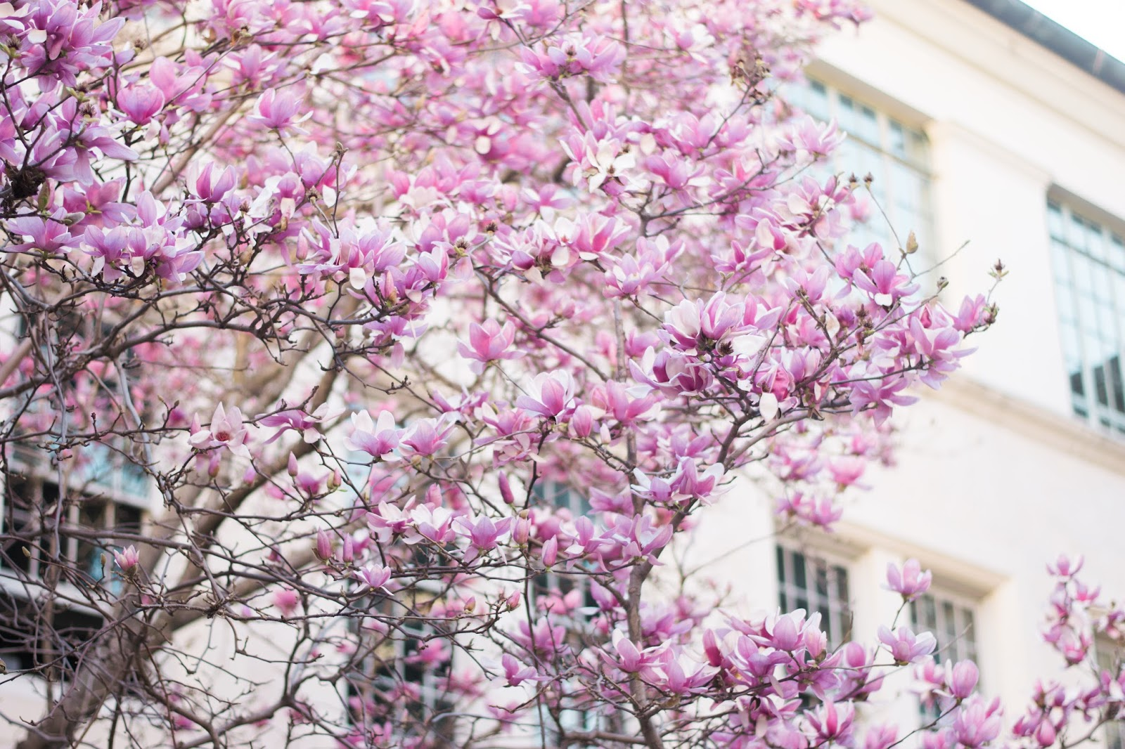 Pink Saucer Magnolias, February Favorites | The Bella Insider