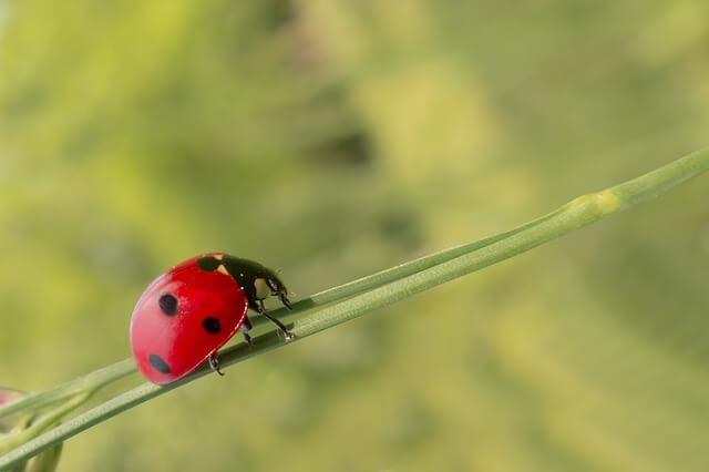 depredador de la familia coccinelidae principal controlador biológico